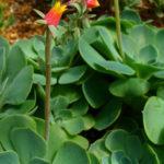 Echeveria gibbiflora