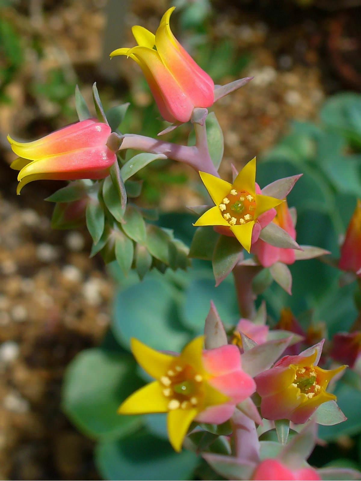 Echeveria Gibbiflora World Of Succulents