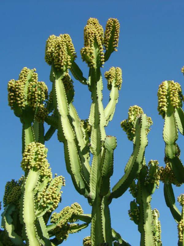 Euphorbia Ingens Candelabra Tree World Of Succulents