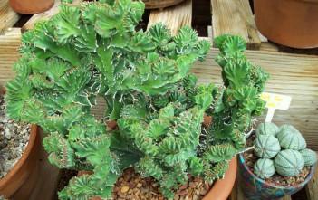 Euphorbia lactea 'Cristata' - Crested Elkhorn