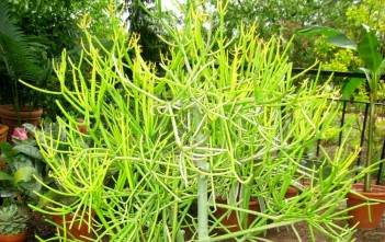 Euphorbia tirucalli - Firestick Plants Pencil Tree