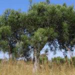 Euphorbia tirucalli (Pencil Tree)