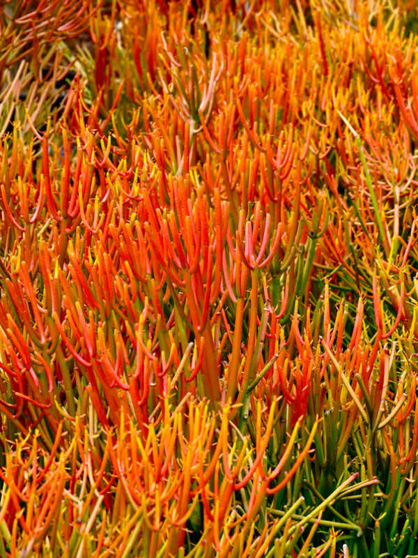 Euphorbia Tirucalli Rosea Fire Sticks Red Pencil Tree