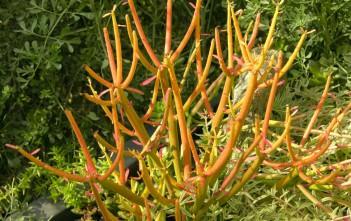 Euphorbia tirucalli 'Rosea' - Fire Sticks Red Pencil Tree