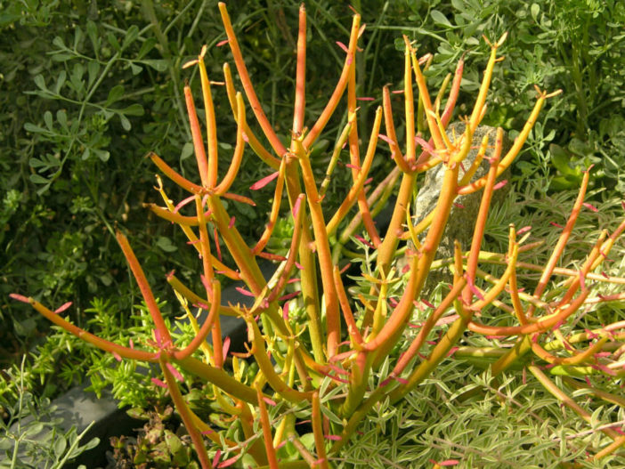Euphorbia tirucalli 'Rosea' - Fire Sticks Red Pencil Tree
