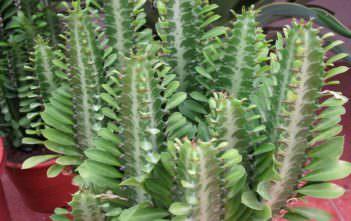 Euphorbia trigona - African Milk Tree
