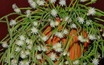 Rhipsalis pilocarpa - Hairy Stemmed Rhipsalis