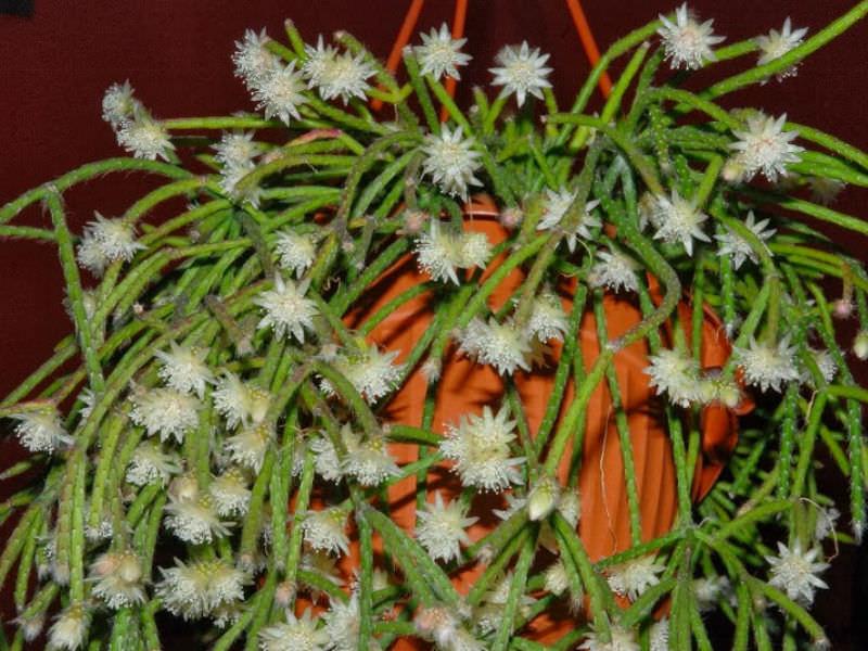 Rhipsalis Pilocarpa Hairy Stemmed Rhipsalis World Of