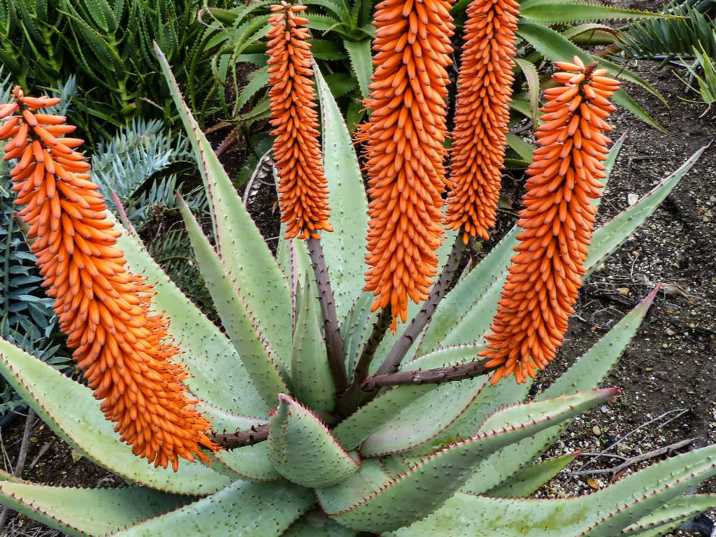 Aloe ferox (Cape Aloe)