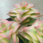 Crassula perforata 'Variegata' - Variegated String of Buttons