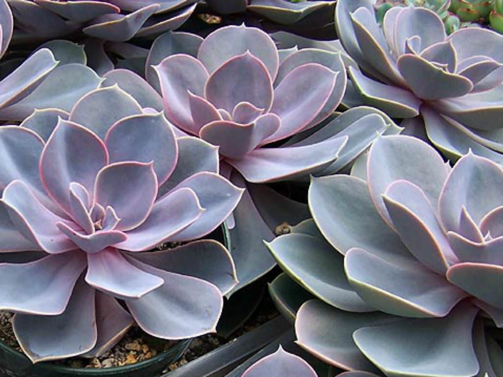 Top 12 Succulents For Home Gardens World Of Succulents