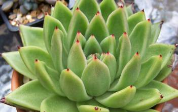 Echeveria agavoides - Molded Wax, Carpet Echeveria