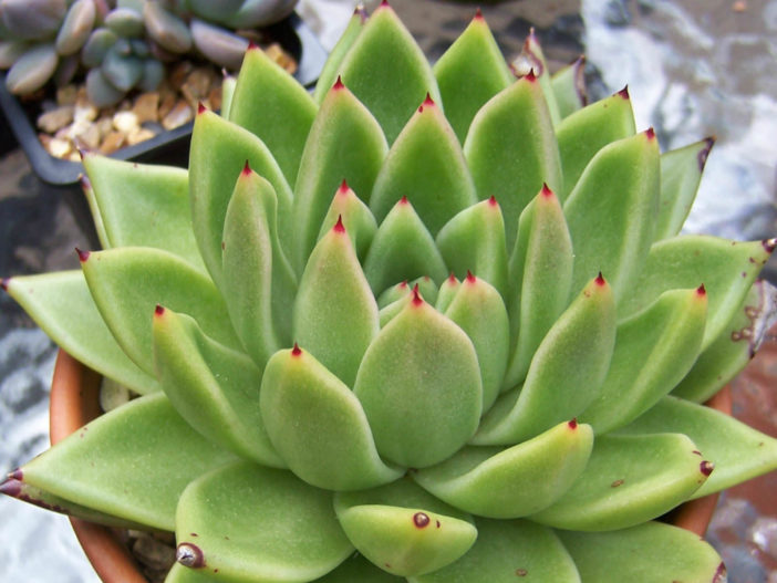 Echeveria agavoides - Molded Wax
