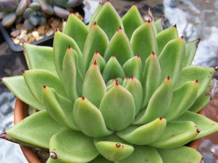 Echeveria agavoides - Molded Wax