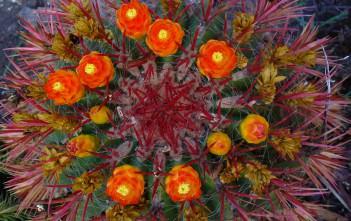 Ferocactus gracilis - Fire Barrel Cactus