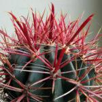 Ferocactus gracilis (Fire Barrel Cactus)