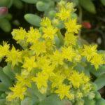 Sedum pachyphyllum - Jelly Beans