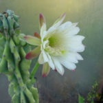 Cereus repandus f. monstrosa (Monstrose Apple Cactus) aka Cereus peruvianus f. monstrosa