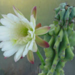 Cereus repandus f. monstrosa (Monstrose Apple Cactus)