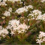 Crassula ovata 'Minima' - Miniature Jade Plant