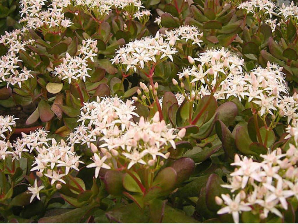 Garden Bush: Crassula Ovata 'Minima' - Miniature Jade Plant