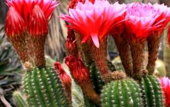 Echinopsis huascha - Red Torch Cactus, Desert's Blooming Jewel