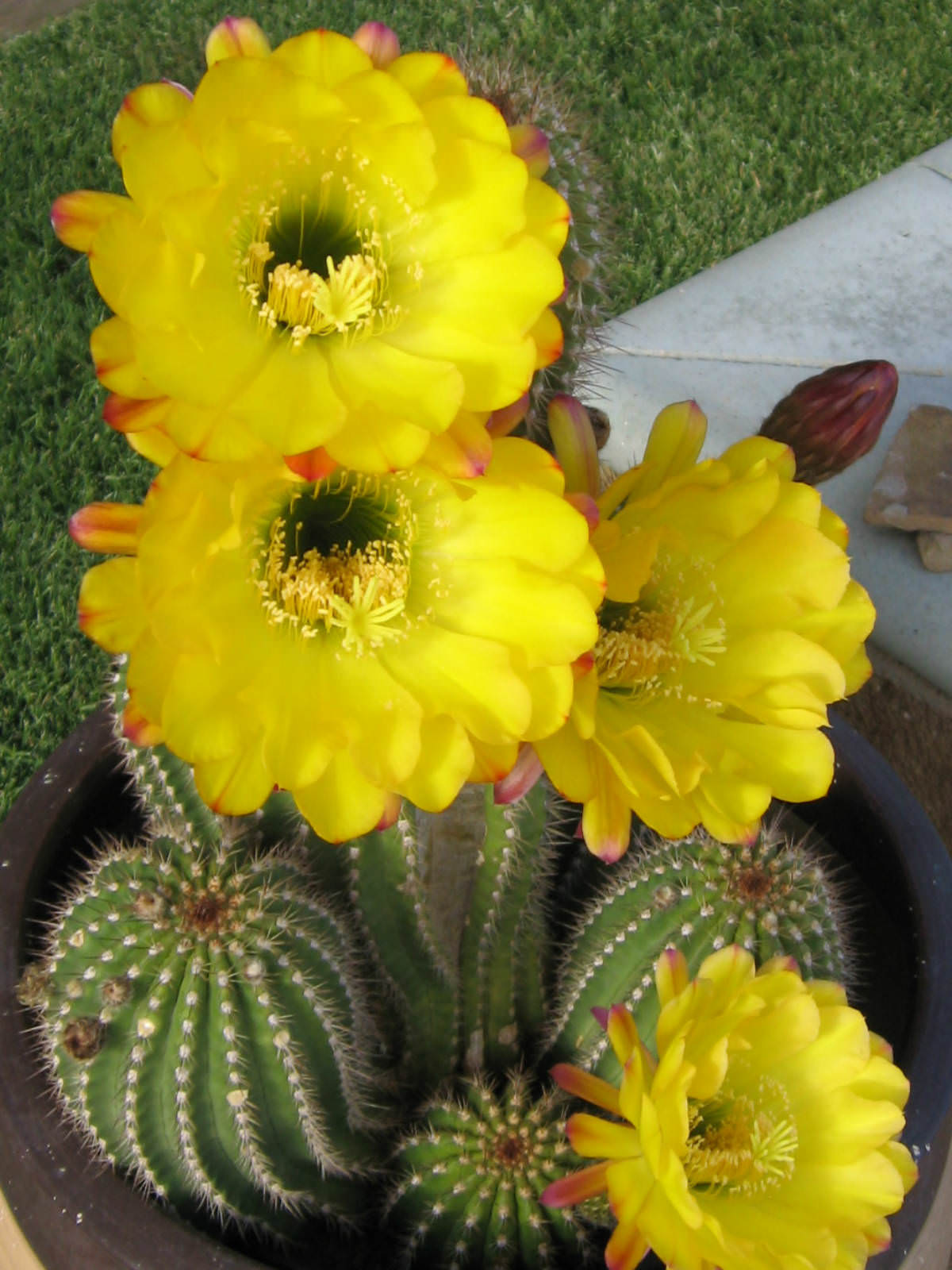 Echinopsis Huascha Red Torch Cactus World Of Succulents