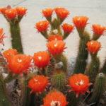 Echinopsis huascha (Red Torch Cactus)