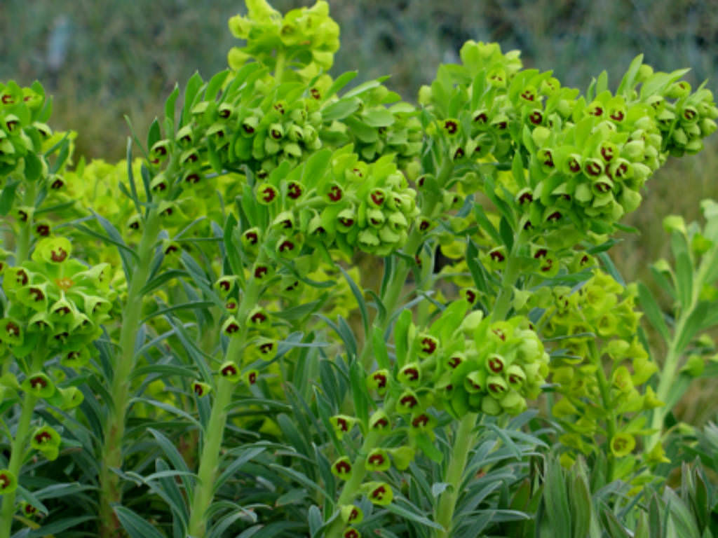 Euphorbia Characias Mediterranean Spurge World Of Succulents