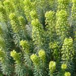 Euphorbia characias - Mediterranean Spurge