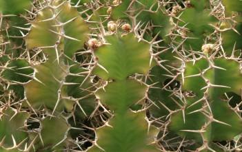 Euphorbia grandicornis (Cow's Horn)