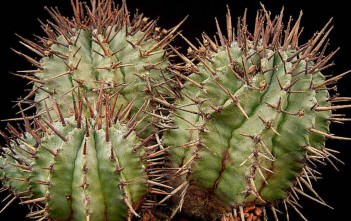 Euphorbia horrida - African Milk Barrel