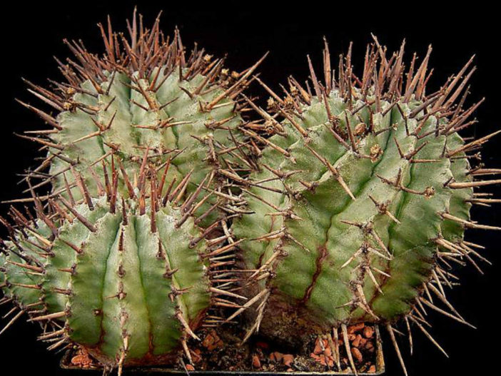 Euphorbia horrida (African Milk Barrel)