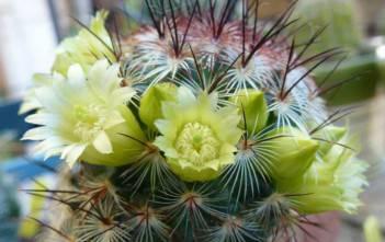 Mammillaria microhelia