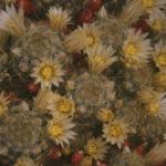 Mammillaria prolifera - Texas Nipple Cactus