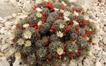 Mammillaria prolifera (Texas Nipple Cactus)