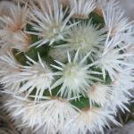 Mammillaria vetula subsp. gracilis 'Arizona Snowcap'