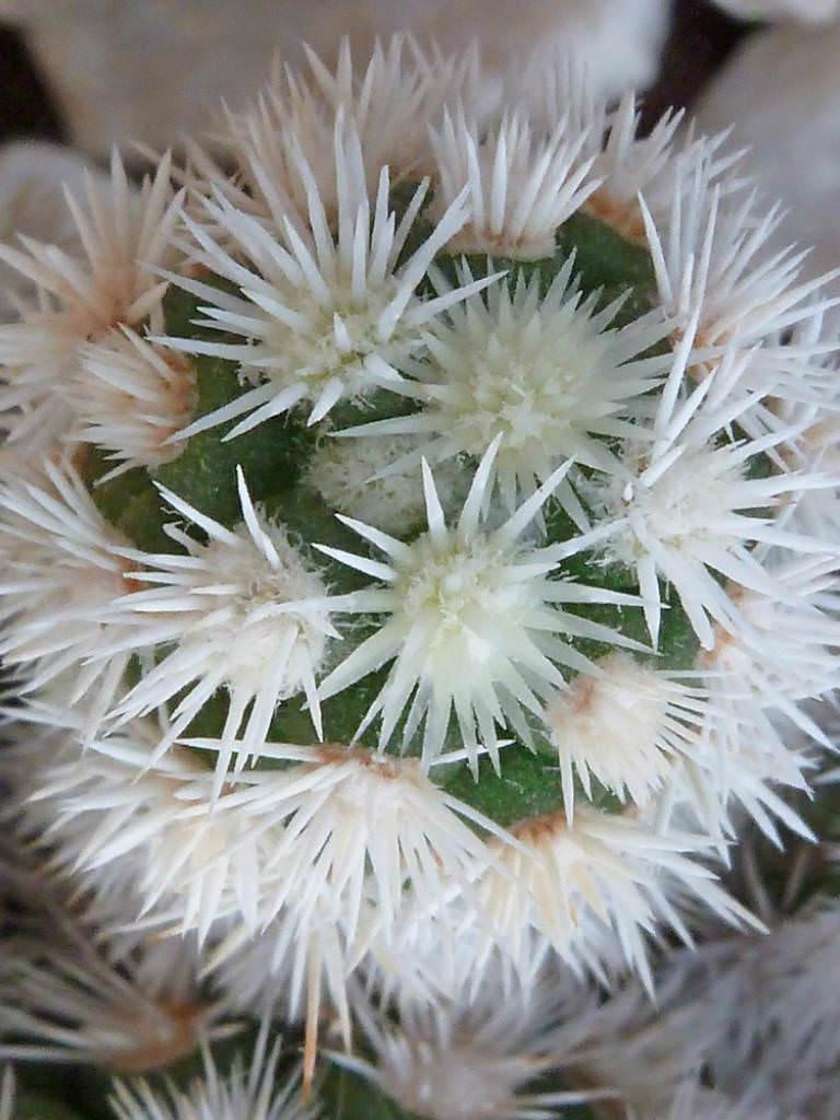 Mammillaria Vetula Subsp Gracilis Arizona Snowcap