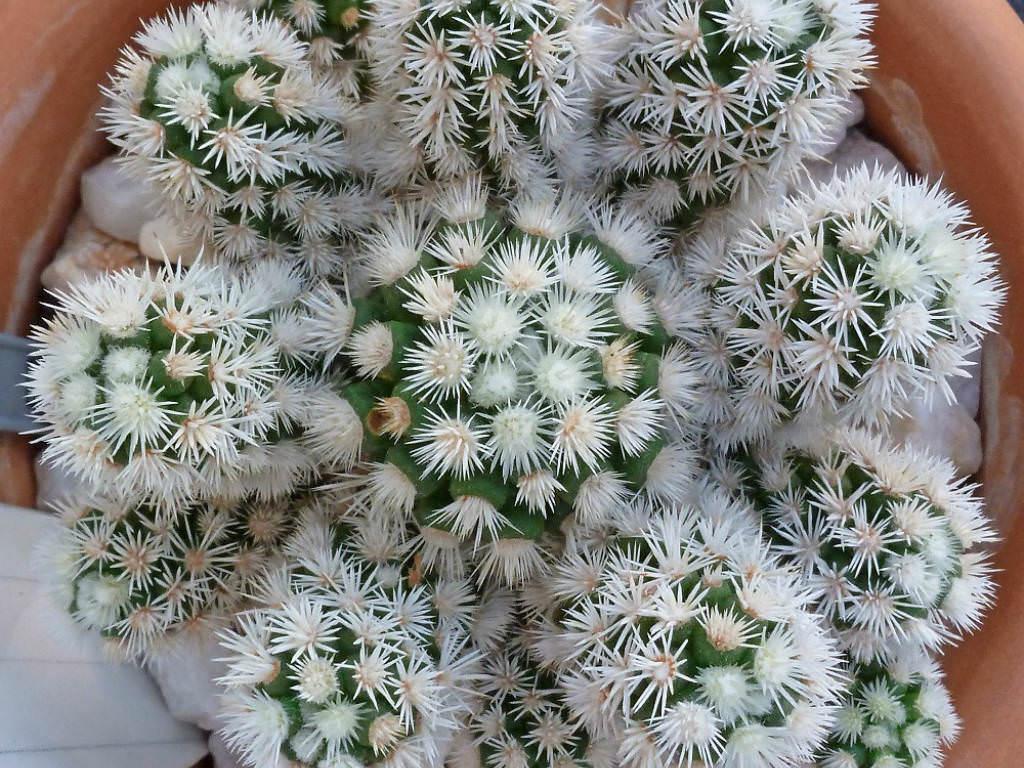 Mammillaria Vetula Subsp Gracilis Arizona Snowcap World Of Succulents