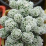 Mammillaria vetula subsp. gracilis