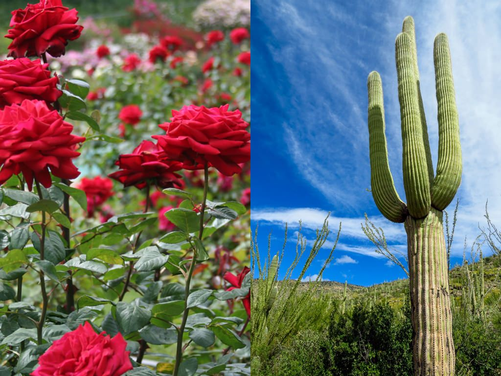 The Story Of A Red Rose And A Cactus World Of Succulents