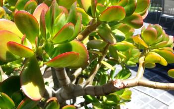 Uses of Jade Plant in Folk Medicine