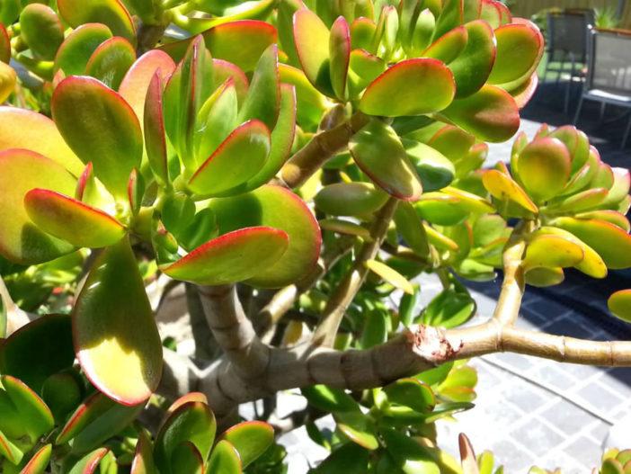 Uses of Jade Plant in Folk Medicine
