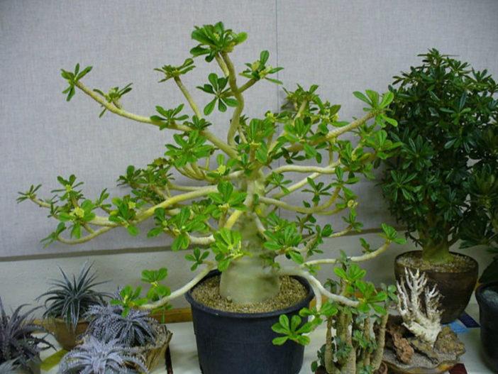 Dorstenia gigas – Socotran Fig Tree