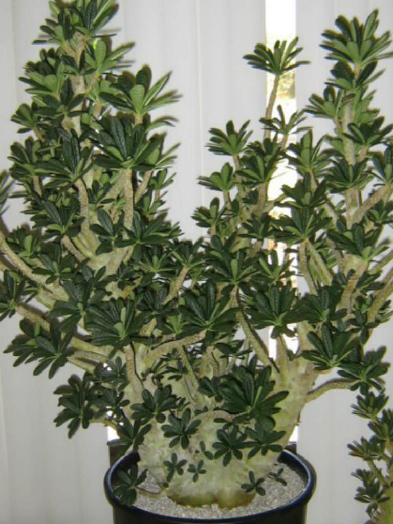 Dorstenia gigas (Socotran Fig Tree) | World of Succulents