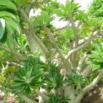 Dorstenia gigas - Socotran Fig Tree