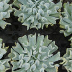 Echeveria runyonii 'Topsy Turvy' (Mexican Hen and Chicks)