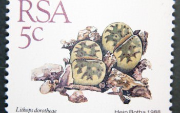 Lithops dorotheae-South Africa-1988
