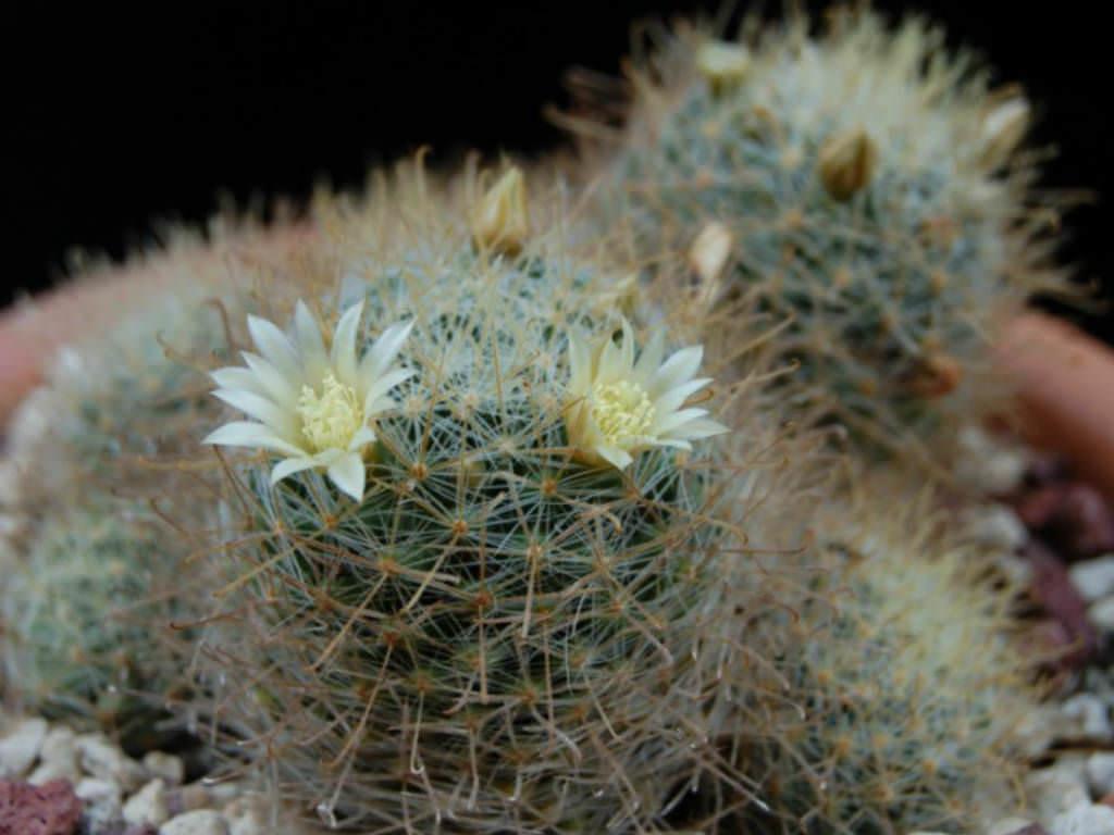 Mammillaria crinita (Pincushion Cactus) | World of Succulents