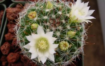 Mammillaria crinita - Pincushion Cactus